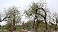 Đào Nhật Tân ghép trên gốc đào rừng giá cho thuê 80 triệu đồng ở Nghệ An