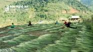 Nhộn nhịp mùa đót ở huyện biên giới Nghệ An