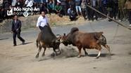 Xem những pha tấn công của trâu bò chọi ở vùng cao xứ Nghệ
