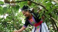 Mùa lê rừng trĩu quả ở miền Tây Nghệ An