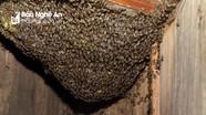 Đàn ong khổng lồ đóng tổ trong tủ nhà dân gần 10 năm khiến ai cũng tò mò