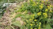 Giá rớt thảm, nông dân thành phố Vinh vứt bỏ hàng tấn rau