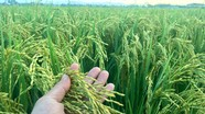 Nông dân Đô Lương ước thu lãi ròng gần 100 tỷ đồng từ lúa chất lượng cao