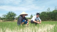 Gần 600 ha lúa hè thu nguy cơ chết vì đồng khô nứt nẻ
