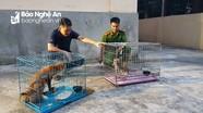 Bàn giao mèo rừng và cáo cho vườn Quốc gia Pù Mát