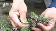 Mùa thu hái đặc sản rau nhót trên cánh đồng muối Nghệ An