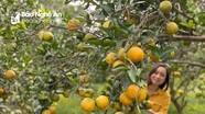 Nghệ An có trang trại cam Vinh đạt tiêu chuẩn xuất khẩu toàn cầu