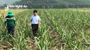 Tân Kỳ: Cây mía được chú trọng đầu tư vì đầu ra bền vững