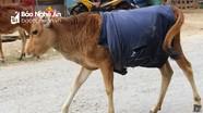 Muôn cách chống rét cho trâu bò vùng cao Nghệ An