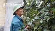 Nông dân ven thành Vinh trồng dâu lấy quả thu hàng chục triệu đồng