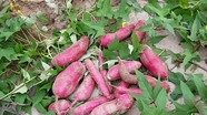 Nông dân Tương Dương thu nhập khá từ khoai lang đỏ