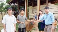 Xã Xiêng My chuyển bò sinh sản do Báo Nghệ An hỗ trợ cho hộ nghèo