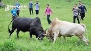 Lên rẻo cao Nghệ An xem hội chọi bò của người Mông