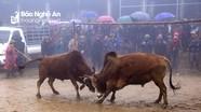 Người dân rẻo cao Nghệ An đội sương mù, giá rét xem chọi bò