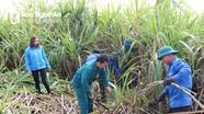 Thanh niên chung tay giúp gia đình tân binh thu hoạch mía