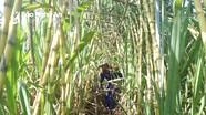 Nông dân lãi cao từ trồng mía ép nước trong mùa nắng nóng