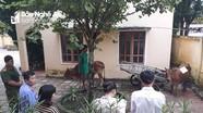 Bi hài chuyện xét nghiệm ADN... cho bò ở Nghệ An