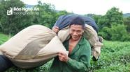 Nông dân Nghệ An hái lứa chè đầu tiên sau đại hạn, thương lái đến tận vườn thu mua