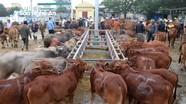 Chợ trâu, bò lớn nhất Việt Nam hối hả vào Tết