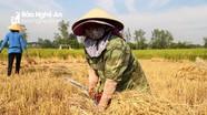 Nông dân Nghệ An thu hoạch lúa trong nắng nóng gay gắt