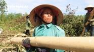 Bất chấp nắng nóng, phụ nữ miền núi Nghệ An vẫn 'đập keo' trên đồi