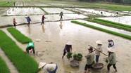 Nông dân Nghệ An háo hức đi cấy đổi công để đón Tết