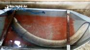Ngư dân ở xứ nhút câu được cá lệch 'khủng', nặng 16 kg trên sông Lam
