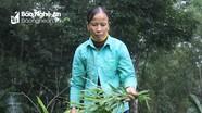 Trồng gừng bán lá, nhà nông Nghệ An kiếm hàng triệu mỗi tháng