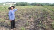 Vì sao 12 ha đất trồng mía bị bỏ hoang ở Quỳ Châu?