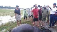 Sét lại đánh chết trâu sau trận mưa lớn ở Thanh Chương