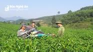Cử tri huyện Anh Sơn quan tâm về chính sách hỗ trợ trồng chè nguyên liệu