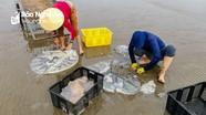 Mùa sứa ngâm nước lá ổi miệt biển