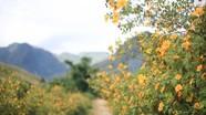 Cung đường ngập hoa dã quỳ ở Nghệ An