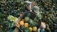Tuyệt đẹp mùa thu hoạch dứa Quỳnh Lưu