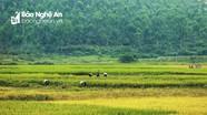 Rộn ràng ngày mùa trên những cánh đồng vàng xứ Nghệ