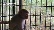 Người dân Nghệ An bàn giao cá thể khỉ cho Vườn quốc gia Pù Mát