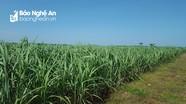 Công ty CP Mía đường Sông Lam đảm bảo bền vững vùng nguyên liệu mía