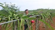 Lão nông vùng đất đồi Nghệ An thu hàng trăm triệu đồng mỗi năm từ thanh long ruột đỏ