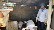 Dịch tả lợn Châu phi diễn biến phức tạp ở thành phố Vinh