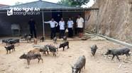 Hỗ trợ đồng bào lưu giữ, phát triển Gen lợn đen đặc sản