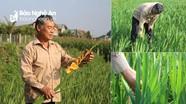 Nông dân miền núi Con Cuông trồng hoa lay ơn, thược dược bán dịp Tết