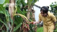 Kỳ lạ chuối trổ buồng từ giữa thân cây ở Nghệ An