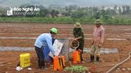 Nông dân Nghệ An thuê đất Thanh Hóa trồng dưa hấu thu nhập cao