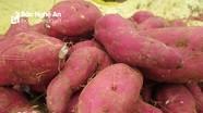 Nông dân Nghệ An thu 90 triệu đồng/ha từ khoai lang đỏ