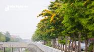 Hoa giáng hương nở rực vàng trên các tuyến phố thành Vinh