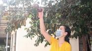 Đặc sản vú sữa Quỳnh Yên vào mùa