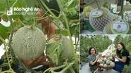 Lần đầu tiên nông dân Thanh Chương trồng thành công dưa lưới