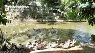 Hàng trăm hộ gia đình ở Con Cuông nuôi vịt bầu Quỳ