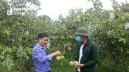 Nông dân Nghệ An có thu nhập quanh năm nhờ trồng ổi rải vụ