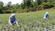 Hiệu quả trồng dược liệu ở Con Cuông